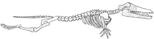 ambulocetus natans