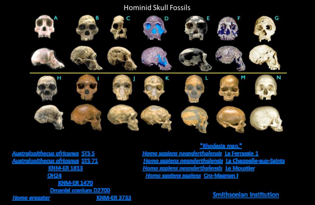 hominid skulls