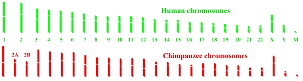 human vs chimp chromosomes