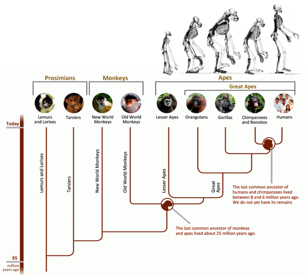 primate tree of life