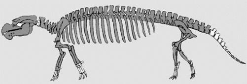 seacow skeleton