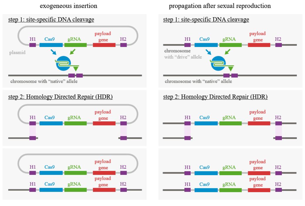 CRISPR gene drive mechanism