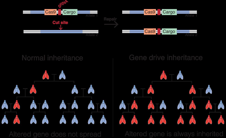 gene drive inheritance_full